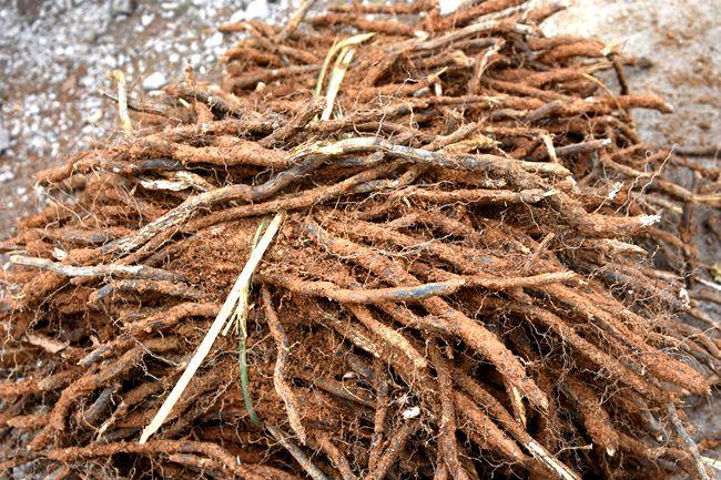 蕨根 - 第1张  | 中草药图片大全-中药的功效与作用